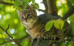 kittens (18) (Vlado Fereni) Tags: kittens cats catsdogs cat kitty animals animalplanet nikond600 nikkor8020028 zagorje hrvatskozagorje hrvatska croatia