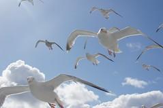 DSC07197 (ZANDVOORTfoto.nl) Tags: seagull seagulls meeuwen birds wildlife animals zeevogels seabirds flying zeemeeuw zeemeeuwen texel