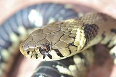 Grass snake , Natrix natrix (3)_filtered (Geckoo76) Tags: grasssnake snake natrixnatrix