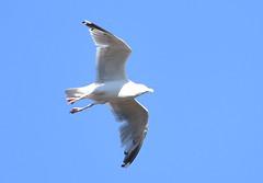 DSC_2705 (PeaTJay) Tags: nikond750 tamron reading lowerearley berkshire outdoors birds birdsofprey gull gulls