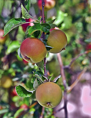 Yummy Eating Apples (It Sure Feels Like Fall, Love It!!!) Tags: tmi augustabundance apples eating yellow red branches leaves neighbors backyard