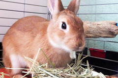 Ichigo san 291  (mensore) Tags: brown bunny cute family ichigo netherland dwarf netherlanddwarf pet rabbit