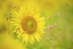 (NATSU) (ajpscs) Tags: ajpscs japan nippon  japanese  tokyo  nikond750 kanagawa  zama  sobudaimae flower   nature sunflowerfield summer sun sol seasonchange natsu    sunflower beasunflower towardsthesunshine
