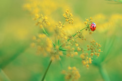 Good luck (marionrosengarten (off for holidays)) Tags: luck ladybug fennel field green nature red points bug insect mojo