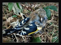 das erste Mal, dass ich einen Stiglitz in natura und dann in unserem Garten gesehen habe,..... (karin_b1966) Tags: vogel bird tier animal garten garden natur nature 2016 stiglitz yourbestoftoday