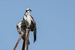 Osprey (Bill Richmond) Tags: osprey pandionhaliaetus birdofprey raptor nikond810 large
