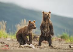 Grizzly Bear cubs standing (Tatra Photography) Tags: grizzlybear ursusarctushorribilis brownbear cub 3monthsold playful bond cute cuddly coastalflats vegetation overcast beach exploring vulnerable bipedal standingupright lakeclarknationalpark alaska usa