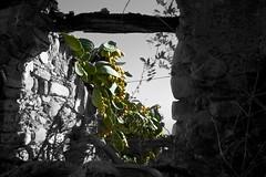 Fichi (Federica_F) Tags: natura fichidindia fichi pianta blackwhite colors window frame
