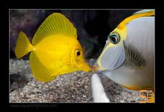 ALAIN2naso-flav-poire6455 (kactusficus) Tags: marine reef aquarium alain captive ecosystem rcifal acanthuridae chirurgien surgeonfish tang zebrasoma flavescens yellow naso elegans jaune