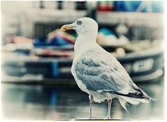 160824-1 (sz227) Tags: mwe silbermwe gull seagull sz227 zackl sony sonyslt58