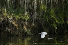 Volando bajo ... (Vctor.M.Chacn) Tags: vctormchacn pajaros aves agua naturaleza fz1000 dmcfz1000
