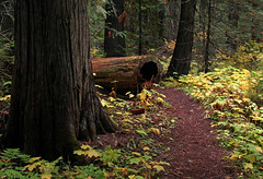 On my way to the rabbit hole (windyhill623) Tags: tree log forest path cedar westernredcedar thujaplicata islandlake islandlakelodge oldgrowthtrail oldgrowthforest thimbleberry forestpath britishcolumbia canada fernie landscape