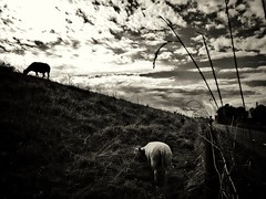 Dike (J.C. Moyer) Tags: sheep blacksheep whitesheep dike road clouds fence rustic blackandwhite