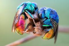 Cuddly Cuckoo Wasps (johnhallmen) Tags: insect macro hymenoptera chrysididae cuckoowasp jewelwasp canon760d canonmpe65 zerenestacker