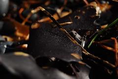 Seaweed (laurelpattee) Tags: yaquina cobble beach newport seaweed texture bumpy algae