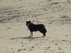 3582 Tots on the Romney Sands (Andy panomaniacanonymous) Tags: 20160820 bbb beach ccc colliedog ddd dog kent romneysands sand sss tots