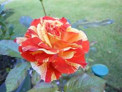 Floribunda Rose, Oranges and Lemons (marieh1177) Tags: rose flower orange lemon floribunda single
