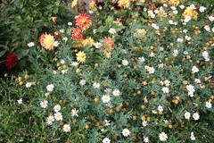 IMG_4572 (ianharrywebb) Tags: edinburgh iansdigitalphotos royalbotanicgardens flowers flower