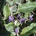 Viola odorata near Aberthaw quarry, 30/03/78