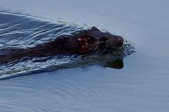 IMGP4196 Mink, Lackford Lakes, September 2016 (bobchappell55) Tags: animal mammal naturereserve suffolkwildlifetrust suffolk mink lackfordlakes neovison vison