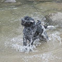 Shake It Off (Anthony de Schoolmeester) Tags: cockerspaniel dogs dog wetdog spaniels englishcockerspaniel splash water sea blueroan blackandwhite amroth beach runningdog