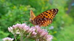 A bit windy - faut s'accrocher! (Ji-) Tags: papillon butterfly fleur flower vent wind t summer bokeh estrie qubec canada fujifilm xt1 fujinon xf16mmf14wr