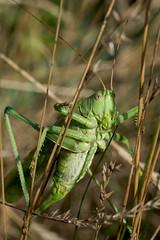 Groes Heupferd (planetvielfalt) Tags: ensifera tettigoniidae tettigoniinae rosleben thringen deutschland