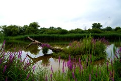 Bltenzauber (Lilith-Luana) Tags: baumstamm wasser blten fluss main unterfranken toterbaum holz insel grn lila