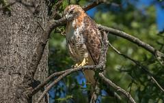 Red-Tailed Hawk (NickJaramillo) Tags: wildlife sigma150600sport nature redtailedhawk birds newjersey birdofprey canon raptor greatswampnwr 7dmkii