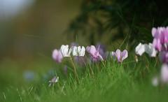 Autumn has broken (SteveJM2009) Tags: narcissus lawn acer grass dof garden morning sun light bokeh focus upavon wilts wiltshire uk september 2016 autumn stevemaskell