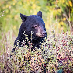 Yukon Black Bear (Loren Mooney) Tags: alaskahighway bear wildlife blackbear mammal outdoors canada wilderness nature yukonterritory animal bearsursidae yukon