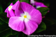 Purple Impatient (nywheels) Tags: flower flowers impatient botany bokeh nature garden naturephotography annual nikon