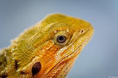 Beardie Portrait (J.Bower) Tags: portland reptile olympus lizard pacificnorthwest beardie beardeddragon omd em5 northwestreptileexpo 60mmmacrof28 olympusomdem5 olympus60mm olympus60mmmacrof28