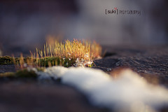 Life of our own (Suki_Photography {Sandra}) Tags: moss drops 365 day28 28365 beautifulsimplicity 3652013 hiddenisland 365the2013edition ingoldensunlight snowyforeground