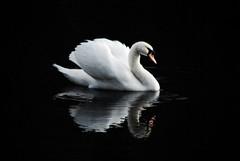 Swan (@CubePhotos) Tags: birds british britishcountryside wildlife european scotland ukbirds uk rspb culzean culzeancastle ayrshire south swan pond nature robin red breast winter christmas nikon nikond60 photoshopcs3 photoshop