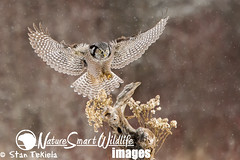 Northern Hawk Owl in winter (Stan Tekiela's Nature Smart Wildlife Images) Tags: winter wild copyright usa snow nature minnesota birds animals flying inflight eagle hawk critter wildlife unitedstatesofamerica birding feathers images landing raptor owl falcon stockphotos perch predator professionalphotographer avian birdsofprey allrightsreserved digitalimages stockimages predators naturalist stockimage stantekiela northernhawkowlsurniaulula allrightsreservered authornaturalistwildlifephotographer naturesmartimagesbystantekiela