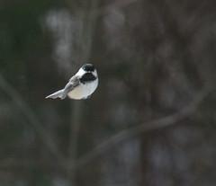 look ma, no wings (lookseeseen) Tags: winter birds flying floating levitation