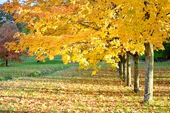 Golden leaves (Helene Iracane) Tags: trees light shadow sun france fall nature leaves yellow jaune automne golden evening soleil maple nikon shadows sunny ombre arbres fallen trunks soire soir feuilles lumires poitiers ombres mortes dor ensoleill troncs rables blinkagain d3100