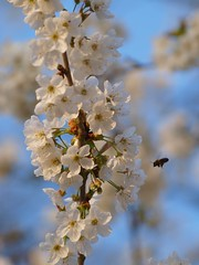 Sous le merisier ** (Titole) Tags: flower flying blossoms bee cherrytree merisier friendlychallenges thechallengefactory titole nicolefaton