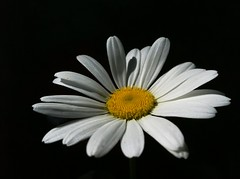 another floating daisy (SS) Tags: light summer white black apple yellow 4 may daisy 2012 iphone ss