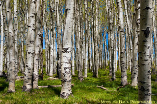 Spring In An Aspen Forest