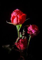 roses are red (koaxial) Tags: flower macro rose raw olympus blume zuiko hdr nahaufnahme luminance 1442 koaxial olympusepl5 rawtherapie epl5 p2231073a