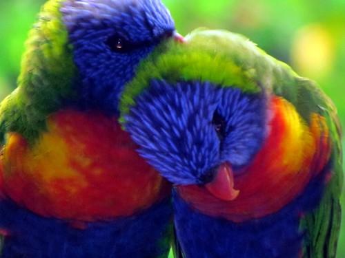 TENDER MOMENTS Rainbow Lorikeets