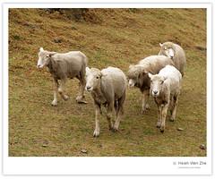 綿羊團體 (Ache_Hsieh) Tags: travel pet mountain flower cute fog sheep farm taiwan olympus 南投 清境農場 nantou e500 zd 1454mm2835