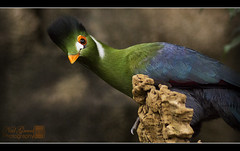 White cheeked Turaco (greenflash13) Tags: africa blue orange green bird beautiful birds sony alpha brilliant wildanimals orangebeak perching beautyinnature whitecheekedturaco animalsandpets