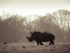 Rhino (wwarby) Tags: trip family trees plants green slr grass animal silhouette mammal outdoors zoo wildlife olympus event rhino digitalcamera e3 50200mm zuiko digitalslr rhinoceros captivity whipsnade whipsnadezoo dayout zuikodigital zsl olympuse3