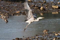 untitled-1707.jpg (Tim Geary) Tags: bird heron nikon lough birding d800 larne islandmagee digiscope ballycarry