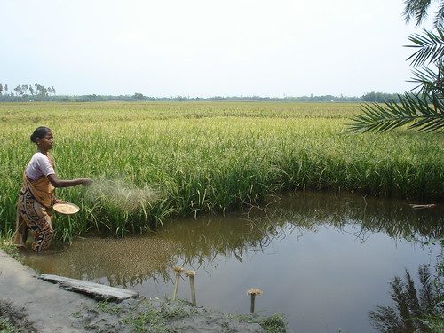 Feeding fish in rice field ditch, Bangladesh. Photo by WorldFish, 2008.