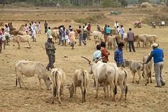 Cow trading (bag_lady) Tags: india cows market tribal trading selling orissa bartering tribalmarket tribalpeople kunduli earthasia odisha