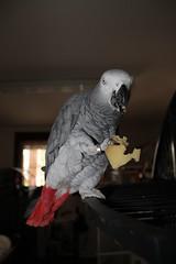 IMG_2471 (Fabio Tumiatti) Tags: food parrot pasta africangrey macaw ararauna cannelloni bluandgoldmacaw